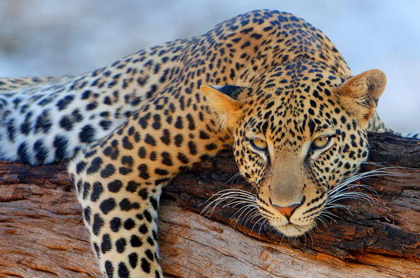 Leopard in Dulini Private Game Reserve.